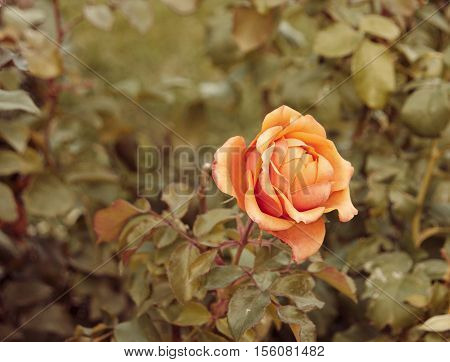 Orange beautiful rose growing in the garden autumn fall low saturation colors and copyspace