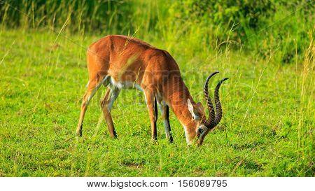 Grazing Ugandan Kob in Murchison Fall National Park Uganda