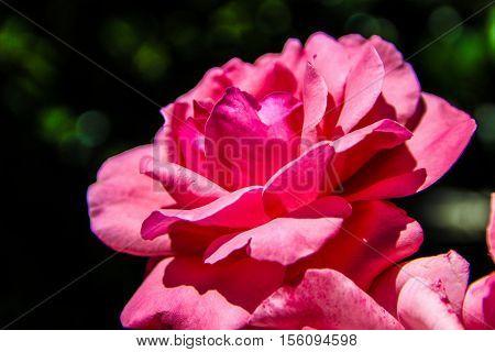 La rosa rosa - The Pink Rose