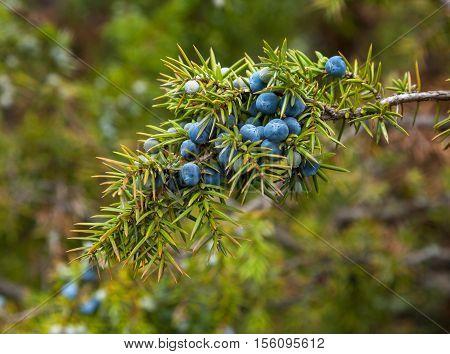 Fruit of an evergreen coniferous tree juniper