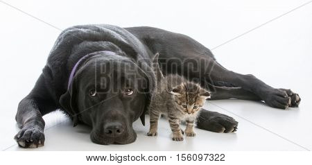 dog rolling eyes and young kitten on white background