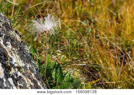 Beautiful floral background with delicate white fluffy flower Dryad in the form of a dandelion on blurred background of grass