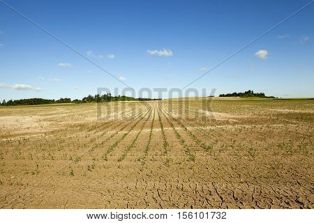 an agricultural field, which is growing young green corn. immature corn