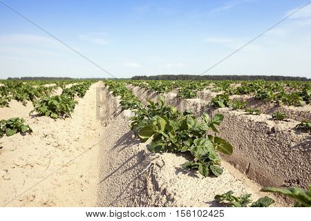 the furrow on which grows green potatoes, summer, blue sky