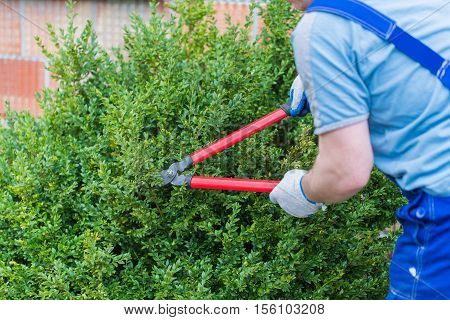 gardener trimmed boxwood huge red pruning shears