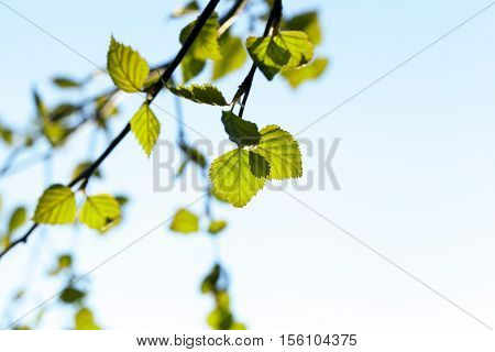 photographed close-up of a young birch tree green leaves on the background blue sky