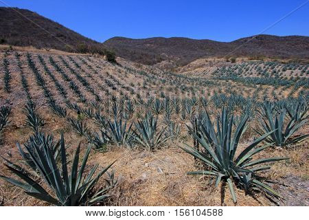 Maguey plants field to produce mezcal, Oaxaca, Mexico