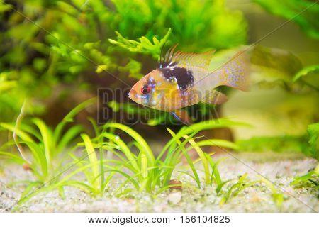 freshwater fish - Mikrogeophagus ramireziram cichlidmale - male.