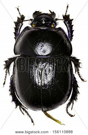 Forest Dung Beetle on white Background - Anoplotrupes stercorosus (Scriba 1791)