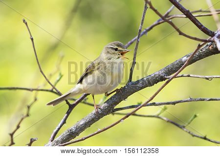 a small bird of the Warbler singing among the young green foliage in early spring