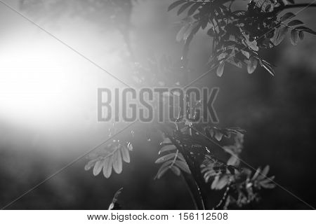 Black and white ashberry in direct sunlight background hd