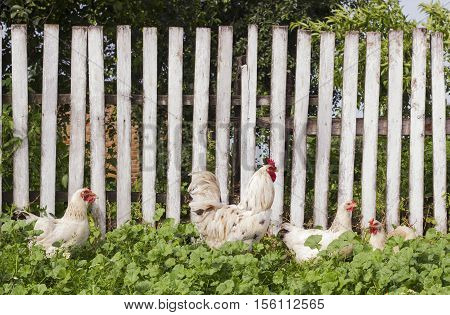 Garden with chickens and white rooster on background of wooden fence. Summer rural yard with domestic white cock and hens
