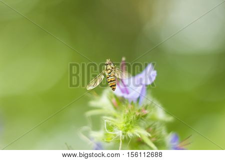 Fly Hoverfly sometimes called flower flies or syrphid flies flying hoverfly sitting near lilac flower in summer day macro photo . Black and yellow fly like wasp