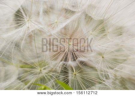 Large white fluffy dandelion flower. Distant relative of dandelion - Salsify. Tragopogon flower. Family  sunflower family. Seeds are borne in fluffy globe. Fragile fluff blowball macro photo