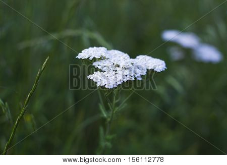 Inflorescences of white wildflowers. White flowers Yarrow plant