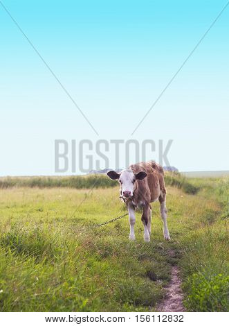 Brown Calf with white head on tether grazing in meadow near path