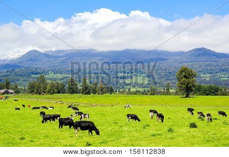 Cows In The Alpine Meadow