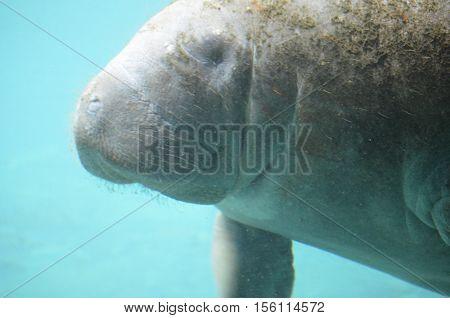 Fantastic manatee swimming underwater in the ocean
