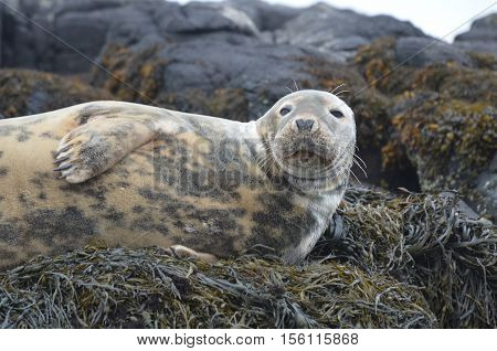 Sunning gray seal on a bed of seaweed.