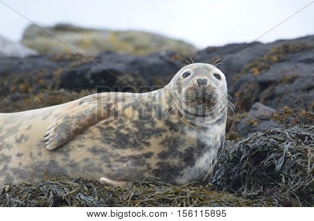 Horsehead seal resting on a bed of seaweed.