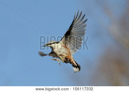 Flying Eurasian Nuthatch (Sitta europea) in autumn. Moscow region Russia