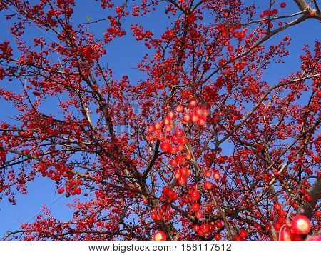 winter mountain ash against the background of the blue sky, a natural look. Branches of mountain ash with bright red berries against the blue sky background