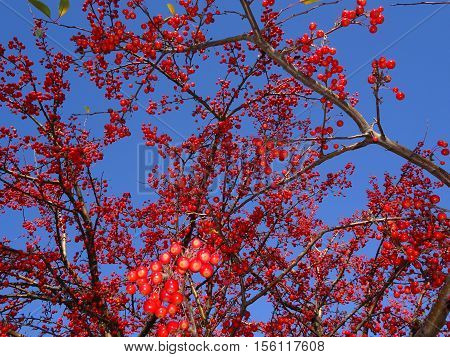 tree with red berries in the fall with blue sky in background.  winter mountain ash against the background of the blue sky, a natural look. Branches of mountain ash with bright red berries against the blue sky background