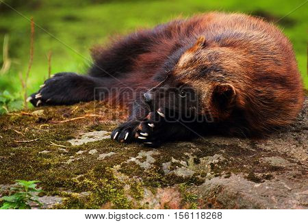 Cute wolverine female lying on a rock