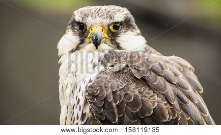 A portrait of a beautiful laggar falcon