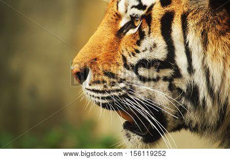 A close-up portrait of a sibirian tiger