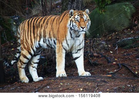A captive siberian tiger standing and looking forward