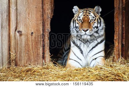 A captive siberian tiger lying down in the straw