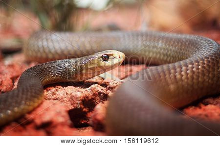 A black mamba lying on red stones