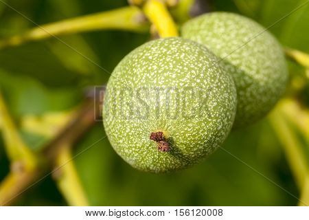 tree, which grows on the immature green walnuts. Photo taken closeup in summer. Small depth of field