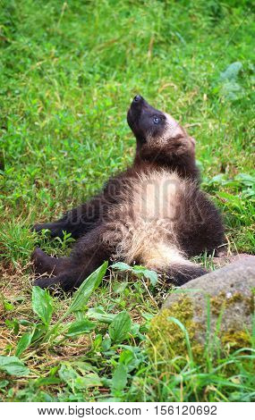 A cute wolverine baby lying in the grass