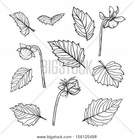 set of beautiful black and white dahlia leaves and buds isolated on background. for greeting cards and invitations of wedding birthday mother's day and other seasonal holiday