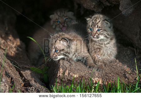 Bobcat Kittens (Lynx rufus) Look Left From Within Log - captive animals