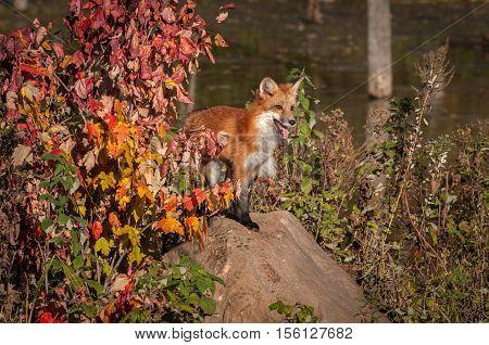Red Fox (Vulpes vulpes) Pants on Rock - captive animal