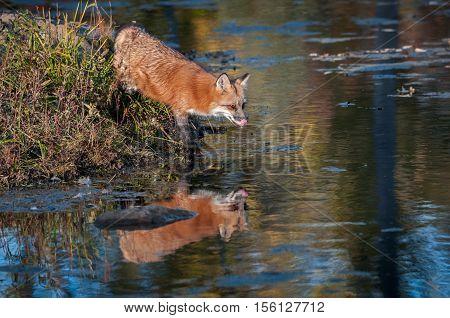 Red Fox (Vulpes vulpes) Licks Nose - captive animal