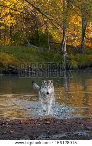 Grey Wolf (Canis lupus) Splashes Forward - captive animal
