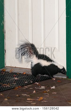 Striped Skunk (Mephitis mephitis) Sniffs At Door Frame - captive animal