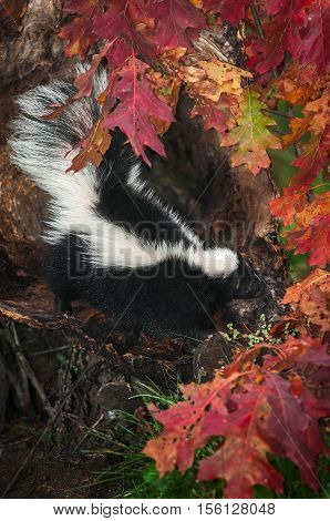 Striped Skunk (Mephitis mephitis) Surrounded By Leaves - captive animal