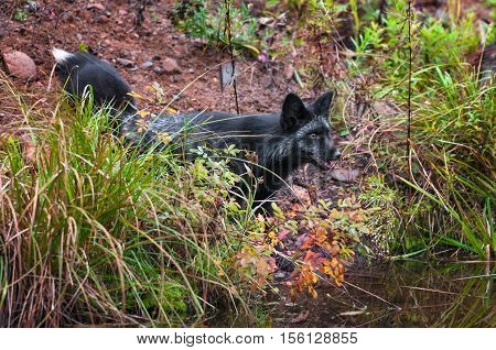 Silver Fox (Vulpes vulpes) Looks Out Eagerly - captive animal