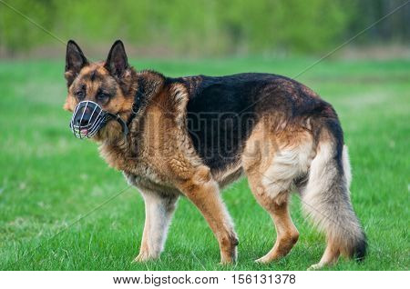 close up on Police German shepherd dog on grass