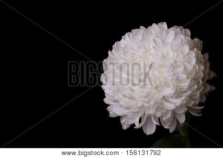 Beautiful white chrysanthemum on a black background. Lush autumn flower on dark background. Selective focus copy space.