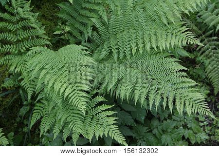 Fern / Fern growing in the forest
