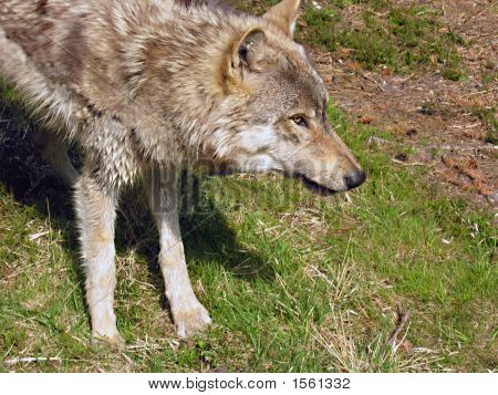 North American Timber Wolf - Male