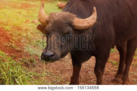 Head of a buffalo close up. The front view the buffalo chews a grass