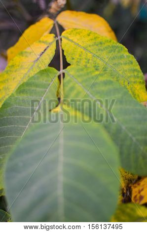 Close up view of autumn walnut tree leaf. Autumn walnut tree leaf colored by yellow and green color as background