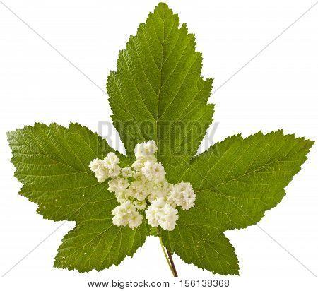 sweet flowers and leaves on white. Filipendula ulmaria